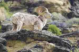 Bighorn Sheep in the Rubies