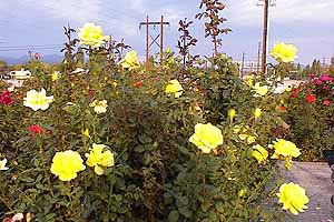 Hawthorne's Memorial Rose Garden is a monument to love and remembrance.