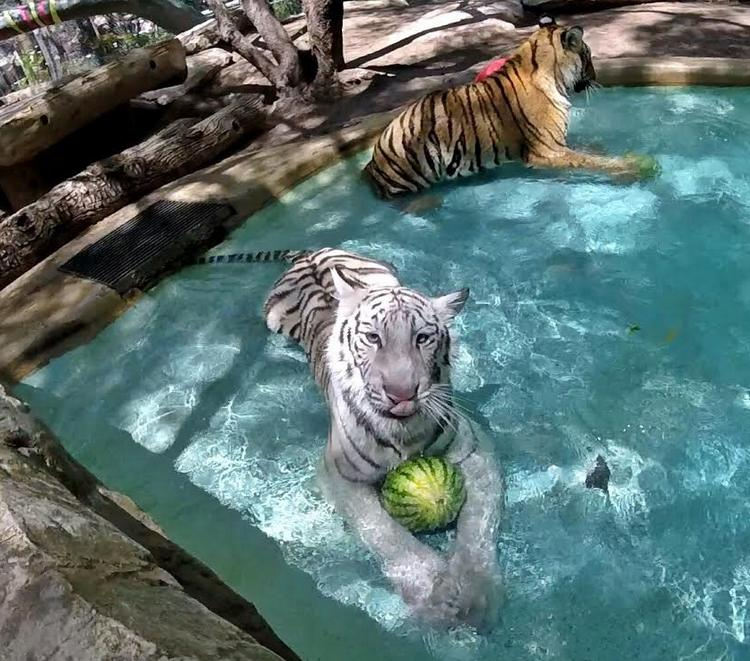 Siegried & Roy's Tiger Cubs Celebrated Their First Birthday