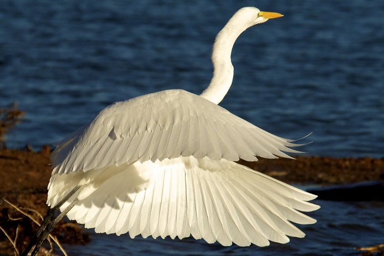 Great Egret at Lake Mead