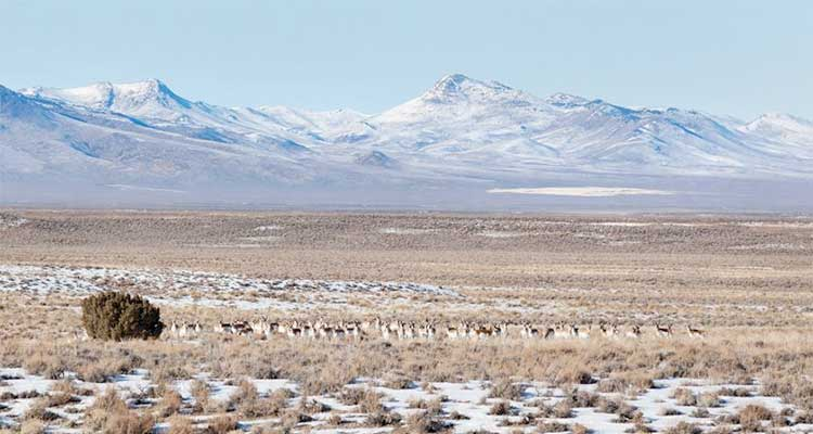 89 pronghorns a few miles west of Eureka Nevada on US 50