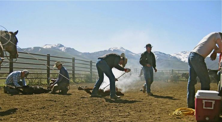Branding calves at the Wright Ranch, Tuscarora, Nevada.