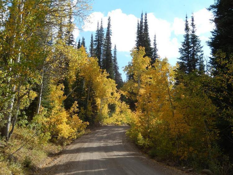 Quaking aspen, turned golden in the fall, along the Charleston to Jarbidge Road, with slender, dark spires of Engelmann spruce beyond.