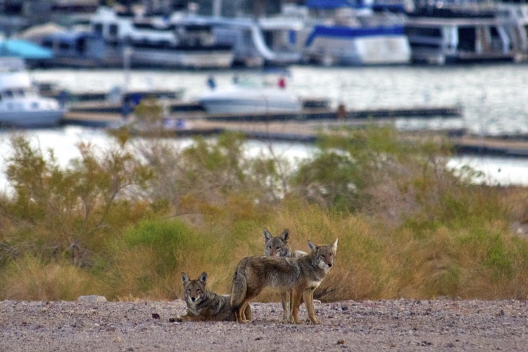 Coyotes wait patiently near the fish cleaning station at the marina