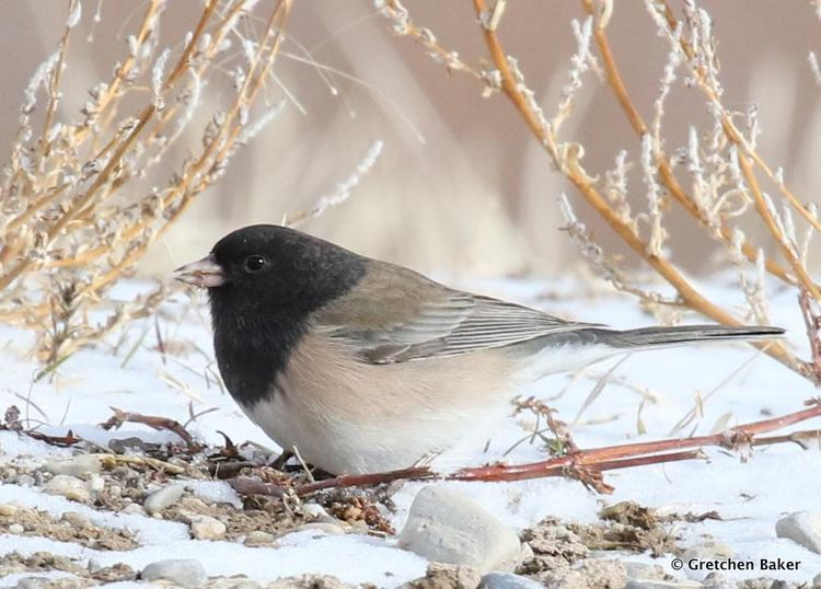 An Oregon junco (a subspecies of the Dark-eyed junco). Juncos are also called snowbirds, because they usually appear only shortly before the first snows of winter and depart before spring comes.