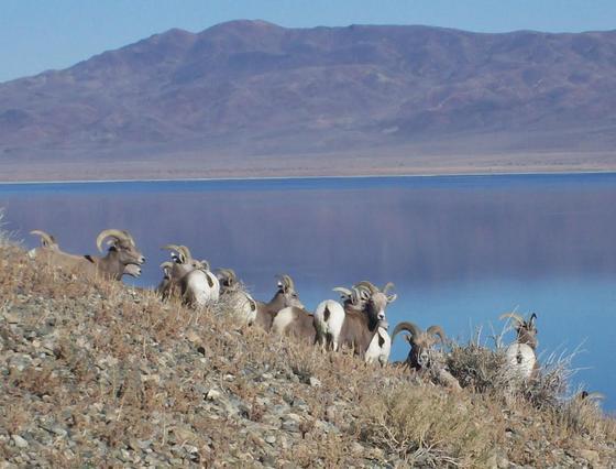 Desert Bighorn Sheep 3