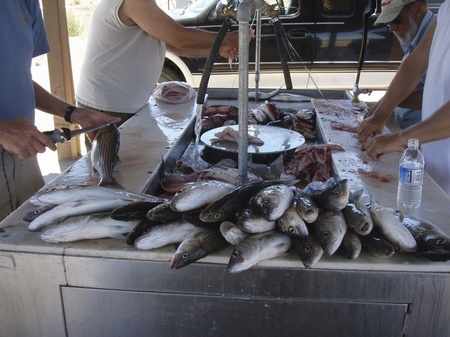 "Filleting ""Stripers"" at the Lake Mead Marina fish cleaning station"