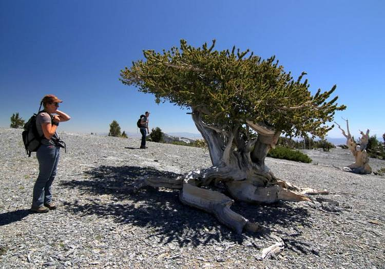 Checking out the Bristlecone pine depicted on the 2013 Great Basin National Park quarter