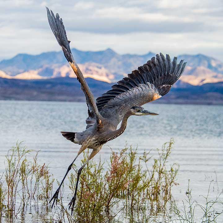 Great heron, Lake Mead Nevada —Alan Goya