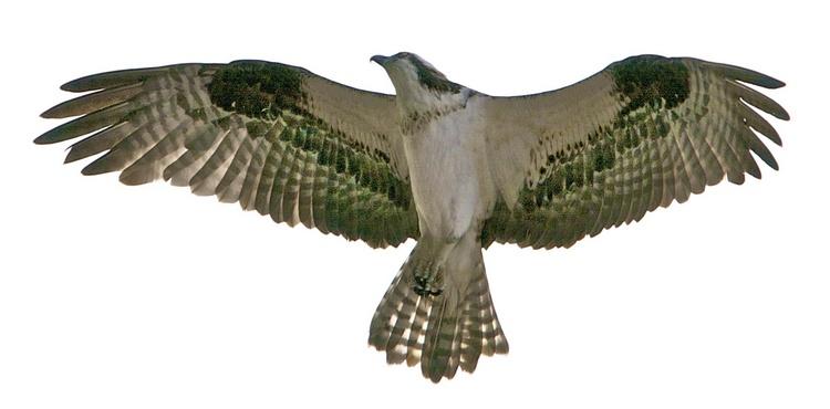 Osprey (also called fishhawk)