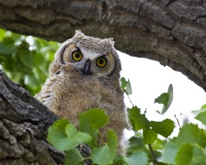 Owl spots something at Eagles and Agriculture