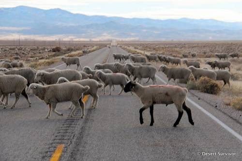 Sheep crossing a highway near Baker