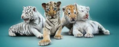 Tiger Cubs of Siegfried & Roy