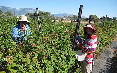 Vanessa and Pietro picking berries at the Jacobs Family Berry Farm, Gardnerville Nevada