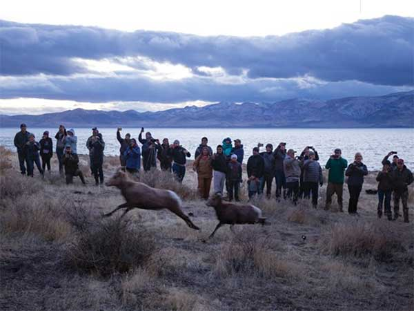 Bighorn sheep return to the Pyarmid Lake Reservation