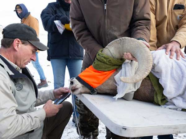 Bighorn sheep examined by veterinarian