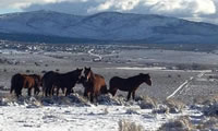 Mustangs in East Carson Valley