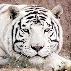 White tiger at Safe Haven Wildlife Refuge, Nevada