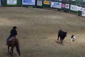 cowdogs at work at teh Winnemucca Ranch Hand Rodeo