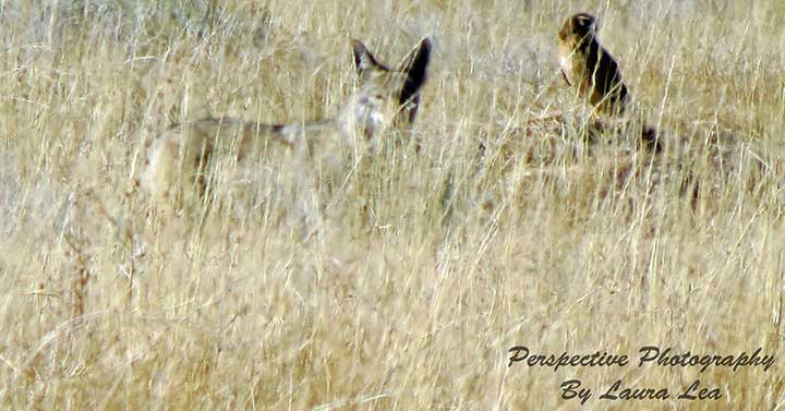Coyote and Hawk along the trail