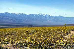 Death Valley wildflowers, 2005