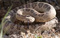 Coiled rattler by Deon Reynolds