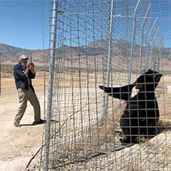 Black Bear at Safe Haven Wildife Refuge, Nevada