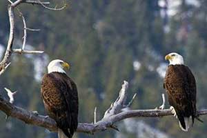 Eagles and Agriculture in the Carson Valley