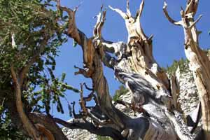 Bristlecone Pine, Great Basin National Park Nevada