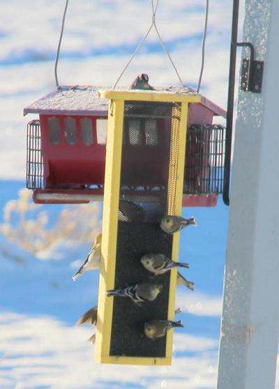Goldfinches congregating at the birdfeeder