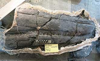 Ichthyosaur jaw