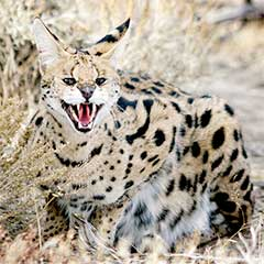 African Serval at Safe Haven Wildife Refuge, Nevada