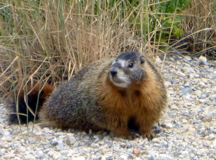 A marmot after emerging from hibernation still sports a luxuriant winter coat