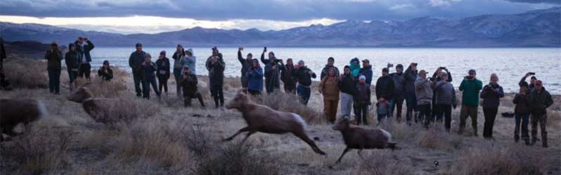 Pyramid Lake Bighorn Sheep