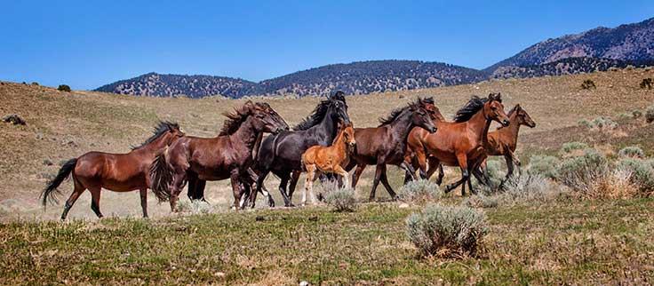 Wild horses, Pine Nut mountains Nevada