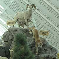 Mountain sheep at Scheel's, Sparks Nevada