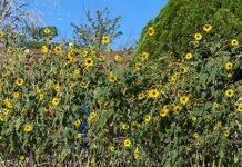 Sunflowers in Baker Nevada