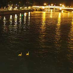Swans on the Seine
