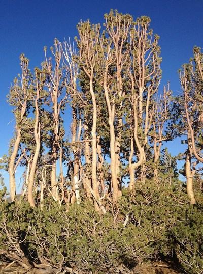 A stand of whitebark pine